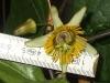 passiflora-coriacea-cr-x-albert-100806_m