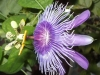 passiflora-emma1