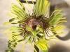 passiflora-manta-x-megacoriacea-100805_3