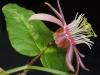 passiflora-rosali-070514_3