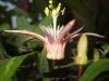 passiflora-roselia-080907