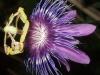 passiflora-amethystina-hybride-081012_1