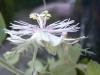 passiflora-arida-060823_3