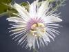 passiflora-arida-060823_4