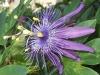 passiflora-cary-100911_1