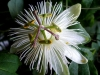 passiflora-constance-elliot-090410_3