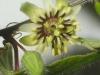 passiflora-conzattiana-090405_1
