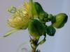 passiflora-coriacea_070324_1