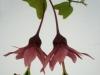 passiflora-flying-v-080419_1
