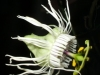 passiflora-trifasciata-080425