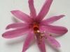 passiflora-tulae-090716_1