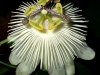 passiflora-white-queen-070818_2b