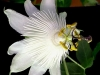 passiflora-white-queen-070827_1