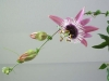 passiflora-xviolacea-atropurpurea-070504_2