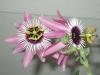 passiflora-xviolacea-atropurpurea-070513_2