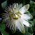Motiv Passiflora 'Constance Elliot'