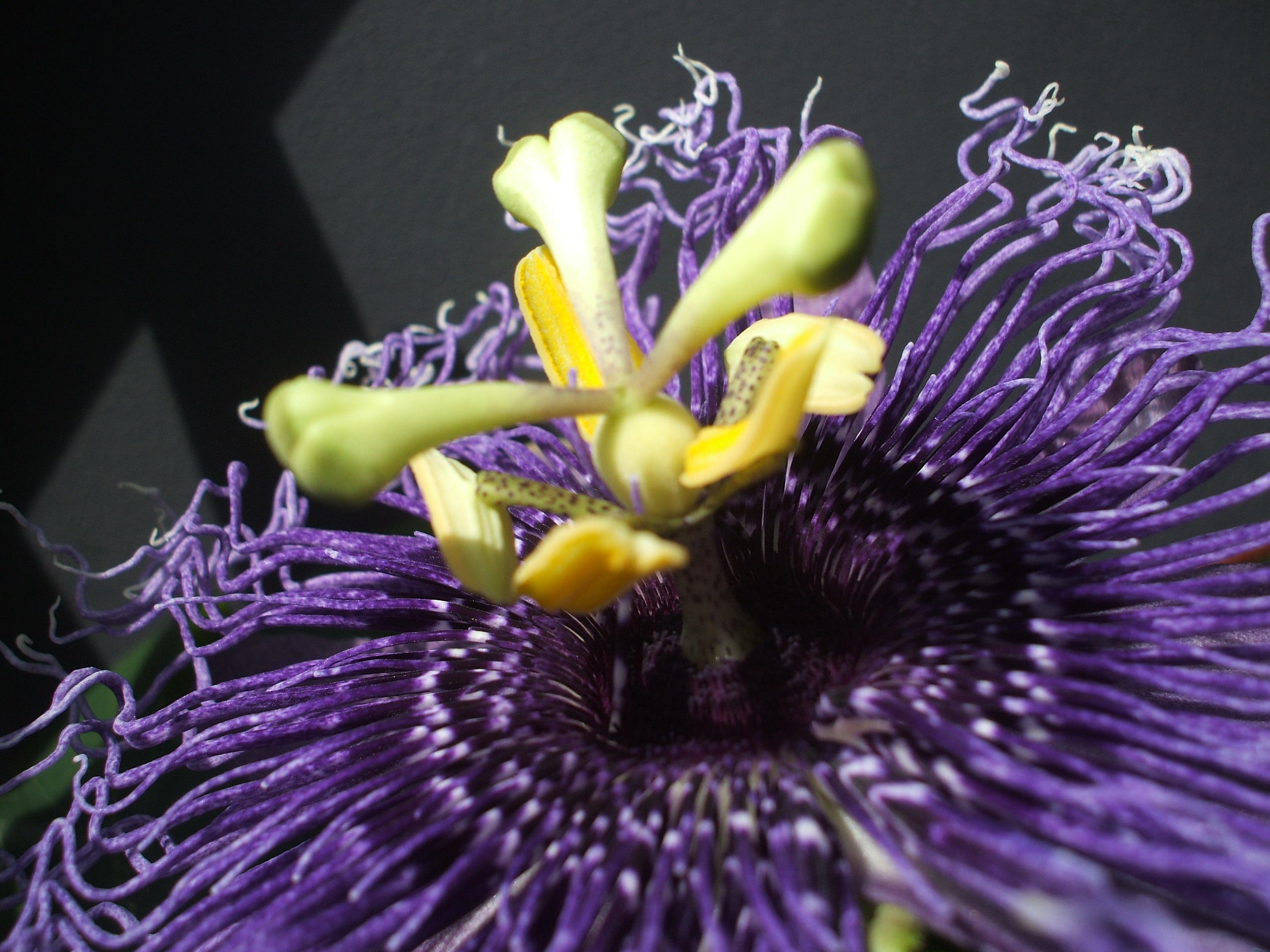Passiflora 'Byron Beauty'-Hybride
