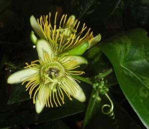Die Blüten von Passiflora 'Albert' duften nach Zitrone.
