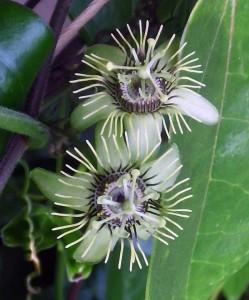 Aus der Nähe betrachtet, sind die Blüten der Passiflora suberosa nicht einfach nur grünlich, sondern besitzen ein interessantes Farbspiel.