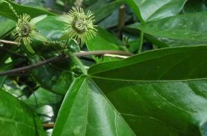 Passiflora suberosa hat winzige Blüten, die nur 1 cm Durchmesser erreichen.