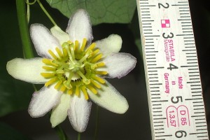 Passiflora decaloba spec. Costa Rica