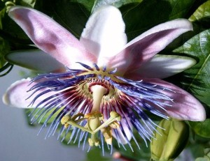 Passiflora xbelotii