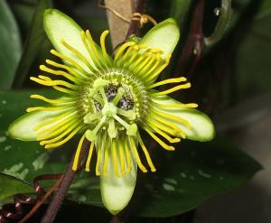 Passiflora coriacea x Passiflora megacoriacea
