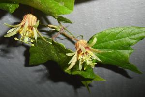 Passiflora decaloba mit komplexer Kreuzungsformel in der Profilansicht