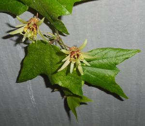 Passiflora decaloba mit komplexer Kreuzungsformel