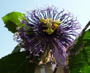 Passiflora Byron Beauty Hybride