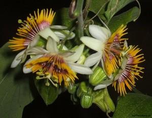 Passiflora holosericea