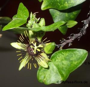 Passiflora 'Manta' blüht!