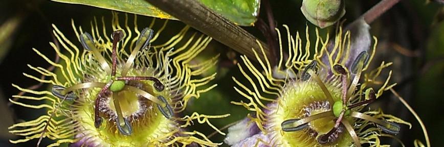 Passiflora standleyi blüht in Lila und Gelb!