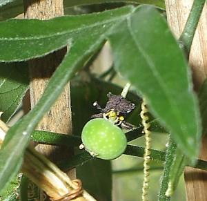 Passiflora suberosa hat eine Frucht angesetzt!