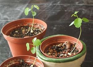 Passiflora subpeltata Sämlinge