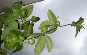Knospen an Passiflora x belotii
